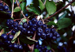 aronia_resize